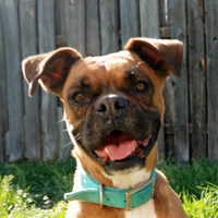Austin Boxer Dog Rescue | Rescue Dogs in Central Texas