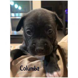 Columba