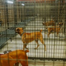 Welcome to Austin Boxer Rescue's Hewitt Facility