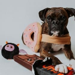 3 Tips to Keep Your Boxer Safe During Pumpkin Spice Season and Halloween